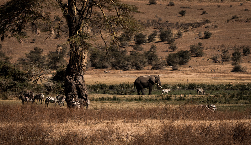 Elephant Zebras.jpg