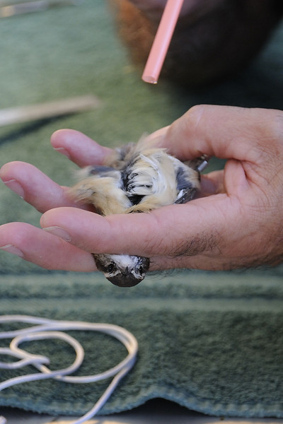 Puff of breath from a straw separates feathers for a look at fat or lack of