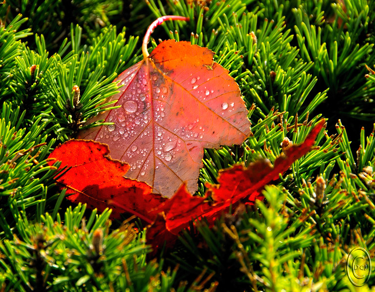 02 Nov 15	For the last several days our weather has been mostly rain, which, when combined with fallen colored leaves, can make for some nice photographic opportunities. Since the camera is basically with me wherever we go, I took the opportunity a couple of days ago to shoot some lovely red maple leaves that had fallen atop a hedge of small pines in a local shopping center parking lot. The light was coming from behind giving the leaves a chance to really show off. With the added bonus of having some water droplets on them it was an opportunity I couldn't resist.  The base image was first cropped and a bit of unwanted material cloned out, then adjusted for max tonality, and finally given a slight amount of micro contrast boost. Nikon D300s; 18 - 200; Aperture Priority; ISO 200; 1/160 sec @ f /10.