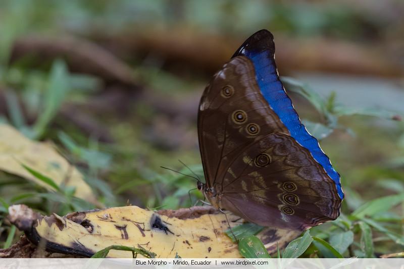 Blue Morpho - Mindo, Ecuador