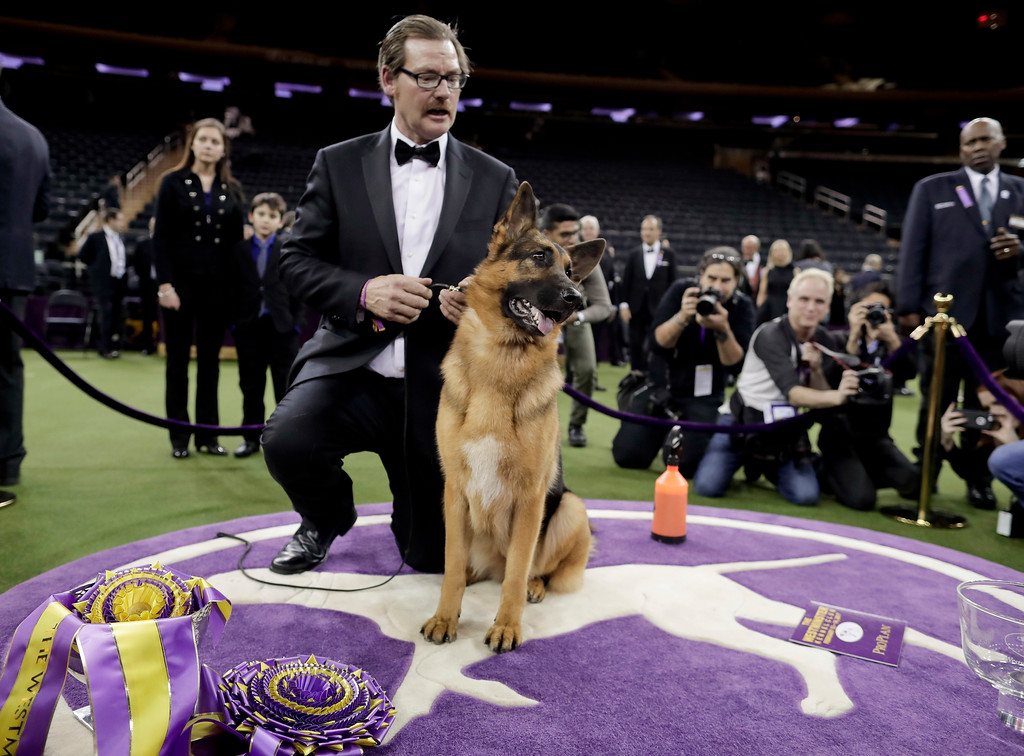 . Rumor, a German shepherd, poses for photos with handler and co-owner Kent Boyles after winning Best in Show at the 141st Westminster Kennel Club Dog Show, early Wednesday, Feb. 15, 2017, in New York. (AP Photo/Julie Jacobson)