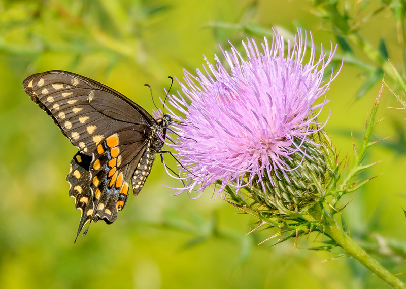 a Black Swallowtail butterfly busy with a thistle flower at Goose Pond Fish and Wildlife Area, Linton, IN