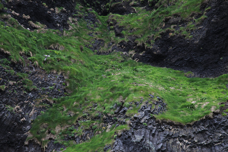 Trochę wyżej klify porasta trawa, to tu czają się maskonury