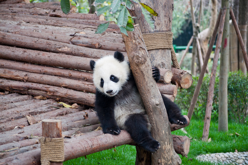 Panda_kindergarten_Chengdu_Sichuan_China.jpg