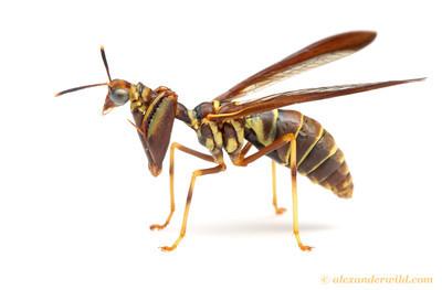 Climaciella brunnea wasp-mimicking mantisfly.