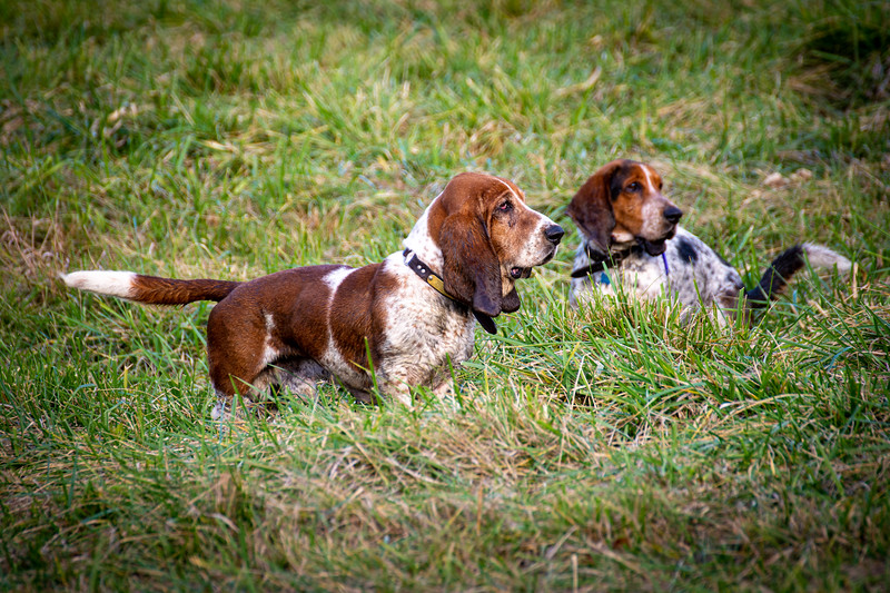 Three Creek Bassets 2020 - 20201 season