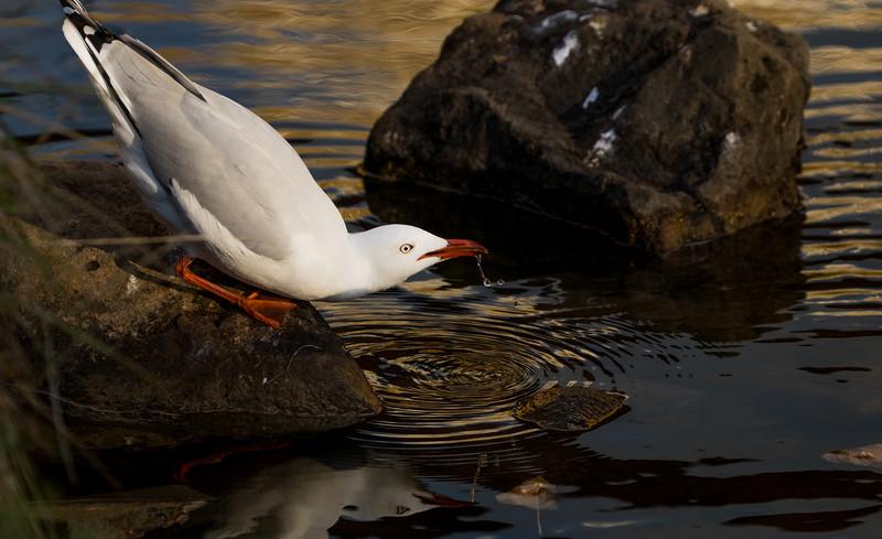 Silver gull under the Richmond Bridge, Tasmania
