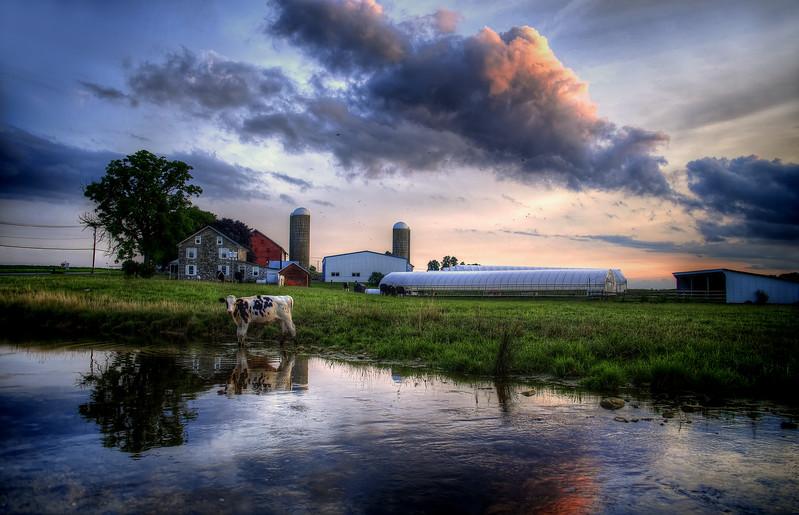 sunset - rflecting cow 8-2-14(p).jpg