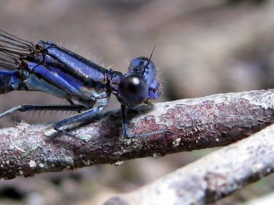 Violet Dancer (Argia fumipennis; violacea)