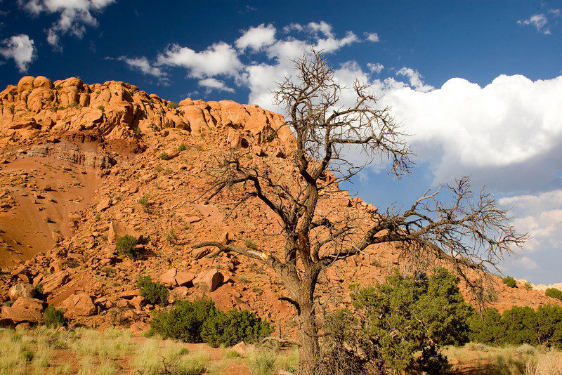 A beautiful scene with a dead Pinon pine, red rocks and a brilliant sky in the vibrant New Mexico sun.