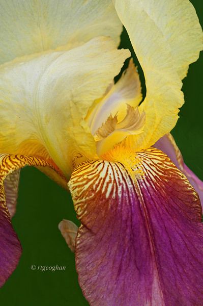 Bearded Iris Shannipin