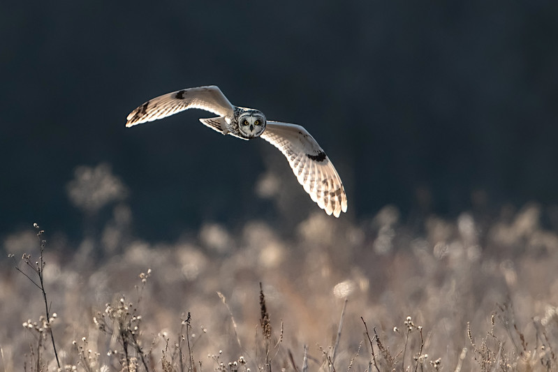 #911 Short-eared Owl