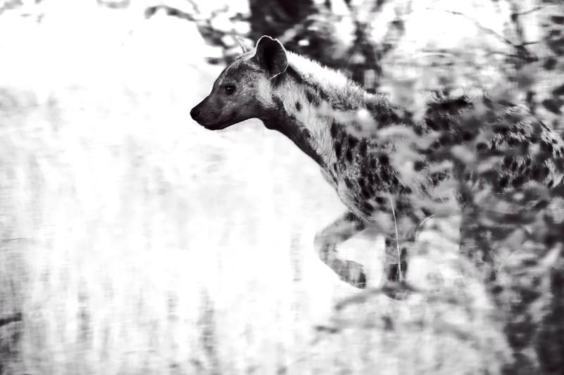 Hyena BW.jpg