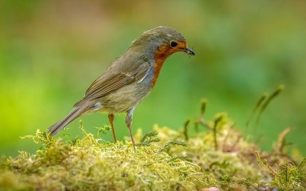 Common UK Birds
