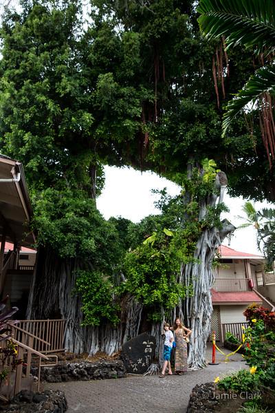 Colossal Tree @Kona Side of the Big Island, Hawaii, April 2016