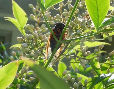 Cicadas - In Living Color - 1