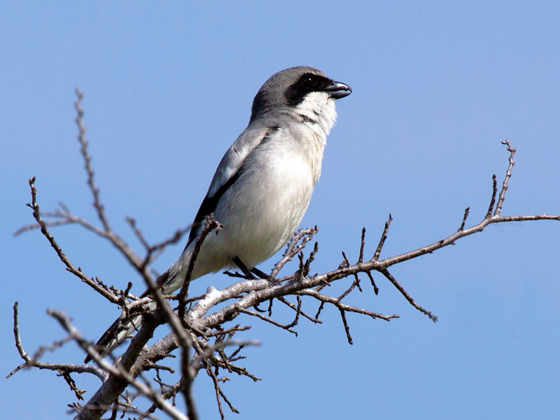 Logger-head Shrike on twigs, by Brays Bayou