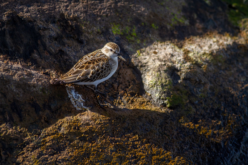 Semipalmated Sandpiper Wisconsin Point Lake Superior Superior Wisconsin IMG_1114.jpg