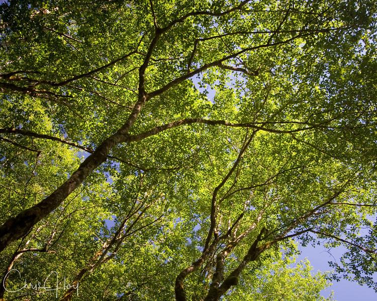 Tree Canopy2.jpg