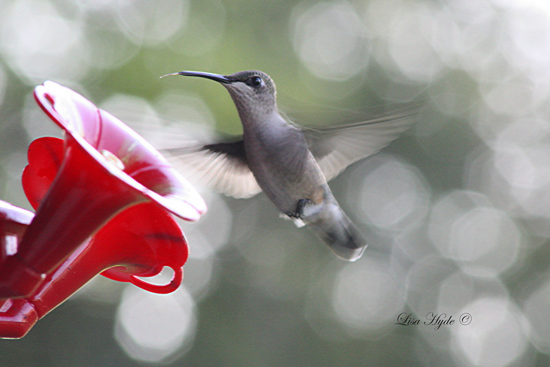 Hummingbird signed.jpg