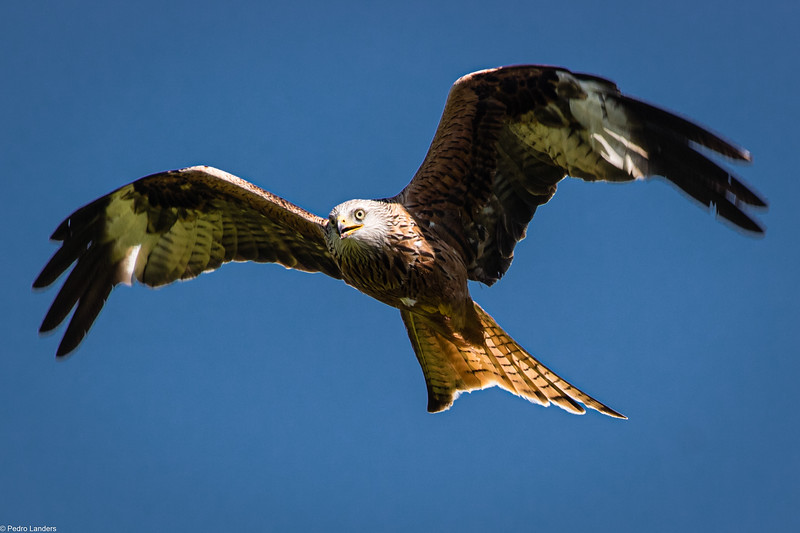 Red Kite - Front View
