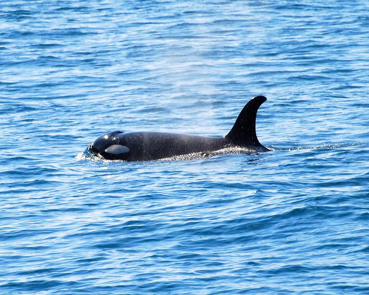 Orca - Killer Whale Kenai Fjords National Park Kenai Peninsula,  Alaska © 2007