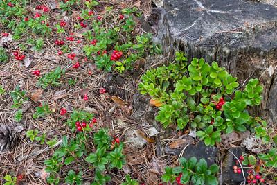 Ericaceae Ljungväxter