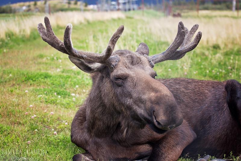 Moose6-7-2.jpg