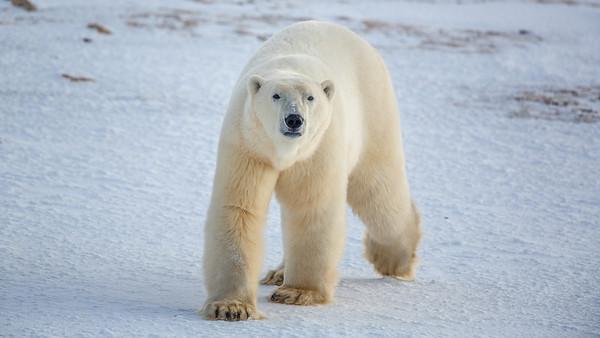 Polar Bear at Churchill, Nov 2013