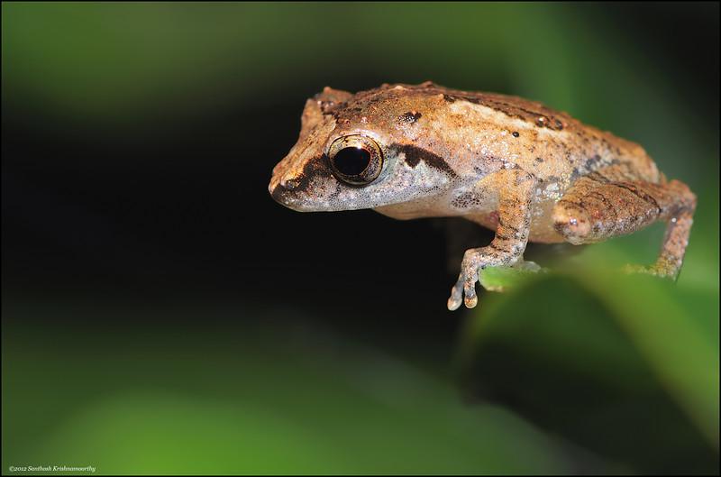Bush-Frog-01.jpg