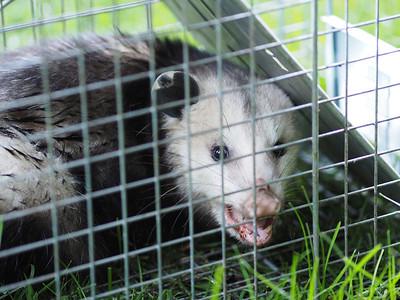 Opossum 2013