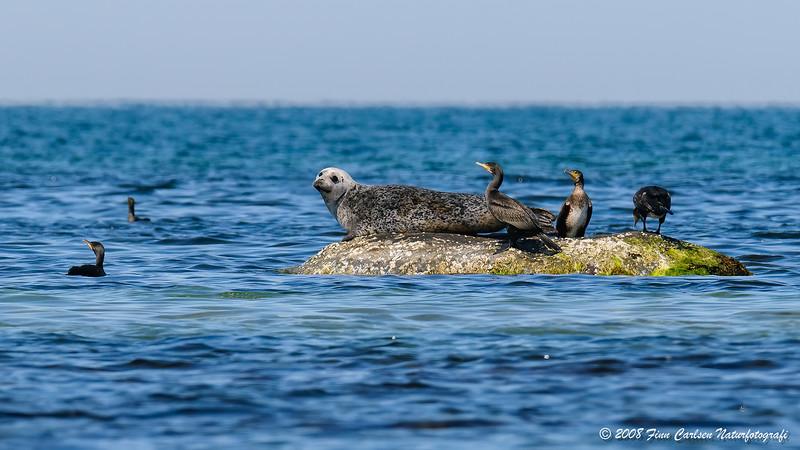 Spættet sæl (Phoca vitulina - Harbour Seal)