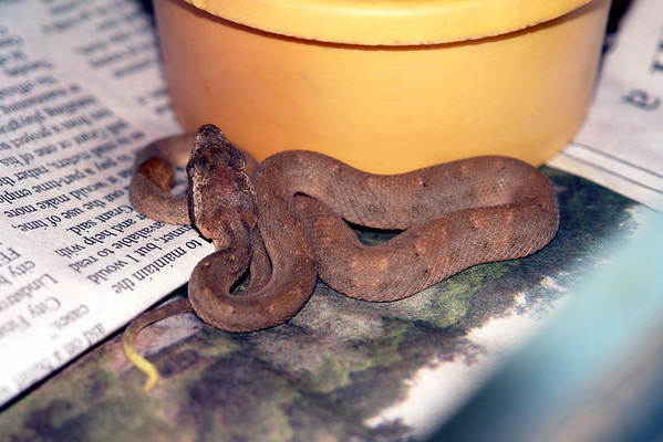 Bothrops caribbaeus