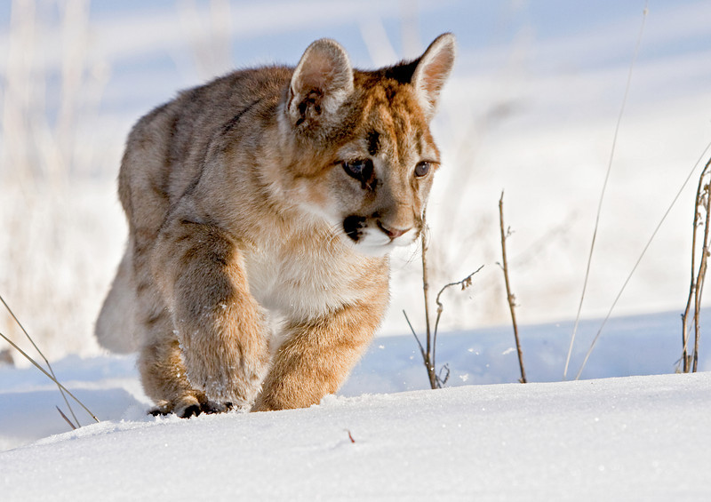 A young cougar trying to come to terms with it's first snowfall!!! Montana