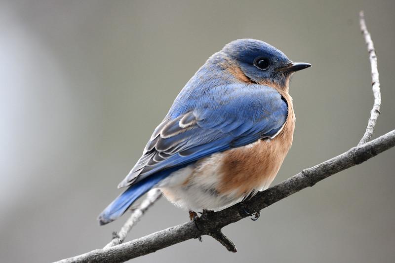 Bluebird Male (304).JPG