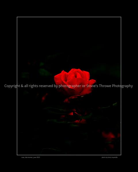 015-flower_rose-dsm-04jun13-0902