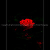 015-flower_rose-dsm-04jun13-0902