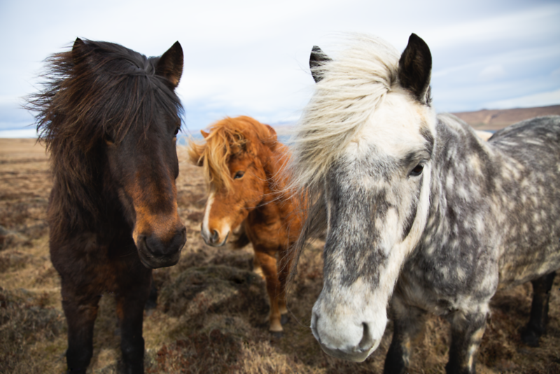 horses iceland x3.png