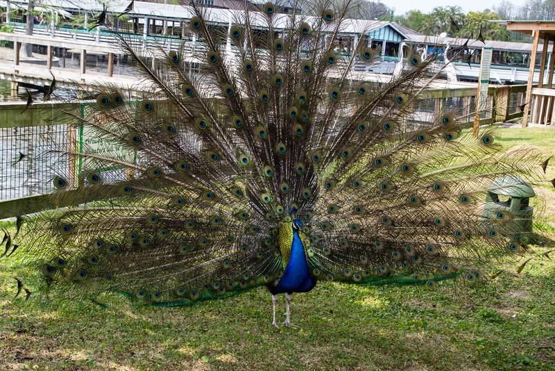 Gatorland - Peacock