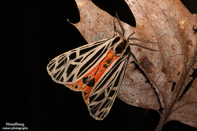 Family Arctiinae