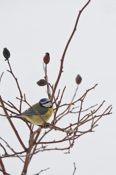 Blue tit (Parus caerueleus, Blåmes)