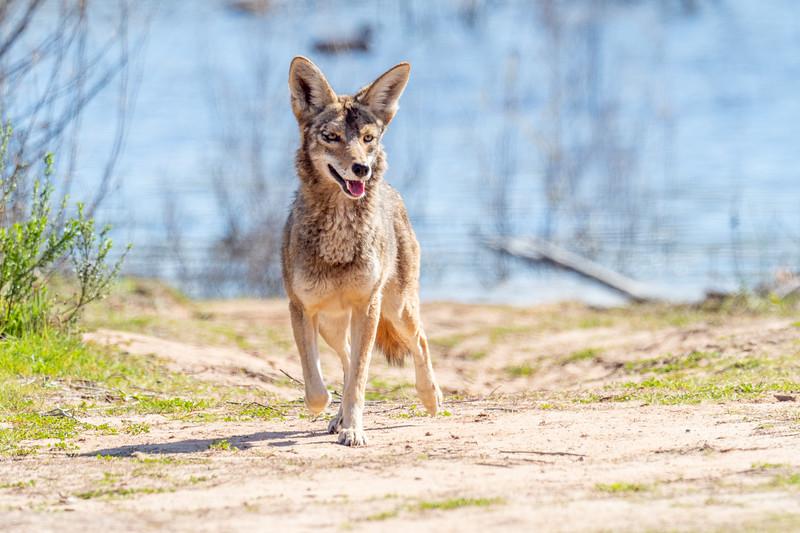 Coyote, Lake Los Carneros Park