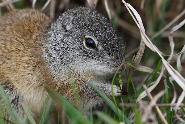 Franklin's Ground Squirrel