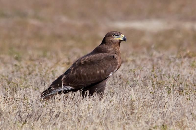 Hawk - Ferruginous - juvenile - dark - Badlands Nat'l Park, SD - 01