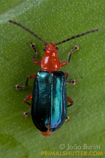 Metallic blue leaf-beetle (Chrysomelidae), in Intervales State Park, Brazil. South-east atlantic forest reserve, UNESCO World Heritage Site.