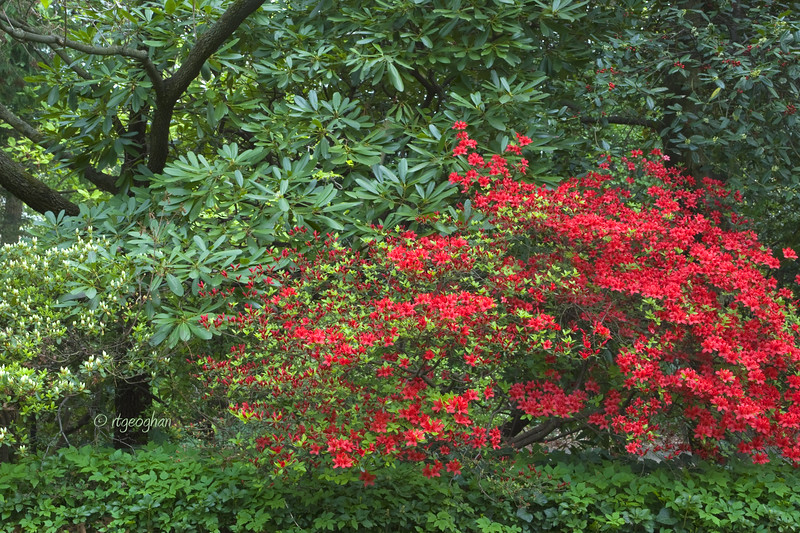 FloweringShrubs_Azalea-Red_0450.jpg