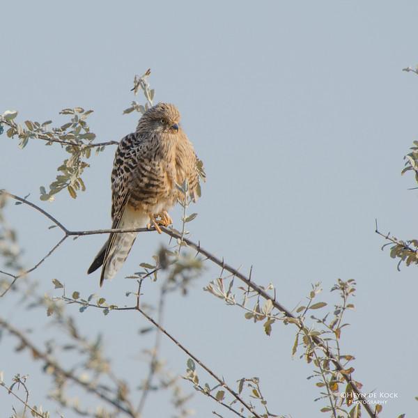 Greater Kestrel, Etosha NP, Namibia, July 2011.jpg