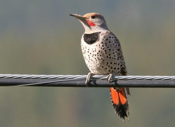 Woodpecker family