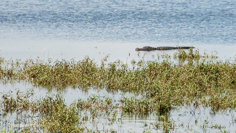 Alligator lurking at Myakka River Park