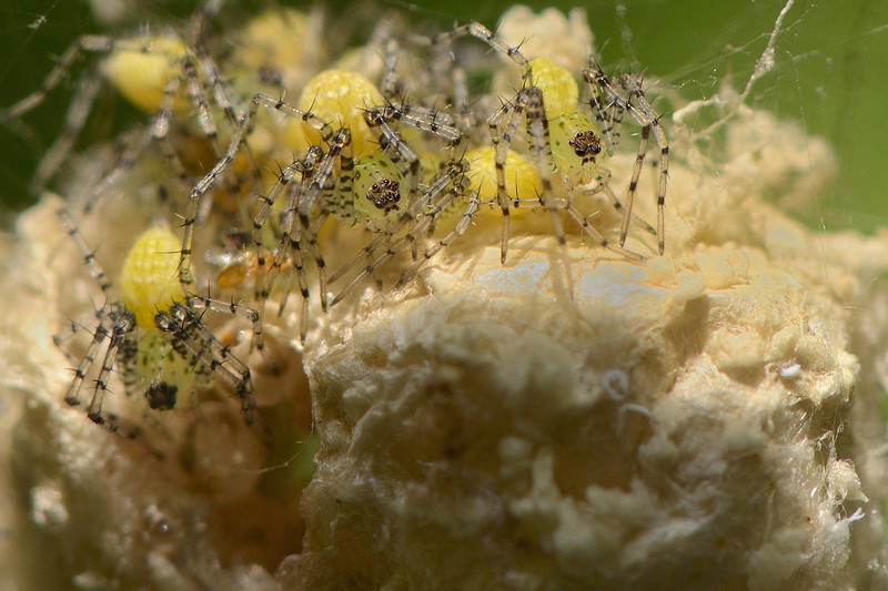 Lynx-spiderlings-on-the-egg-case.jpg